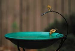 Dripper and Finches