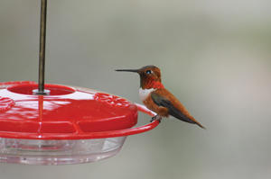 High Perch with Rufous