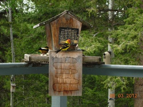 Bark Butte Tanagers – Herb Carter at 100 mile house has good traffic at his Bark Butter setup with Tanagers and Grosbeaks in abundance