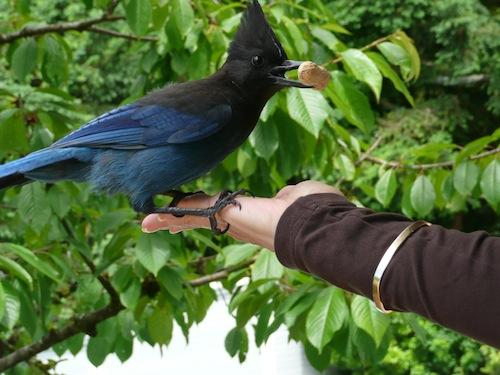 Darlene Holmes has trained this Steller's Jay to come to hand in Eagle Harbour, West Vancouver