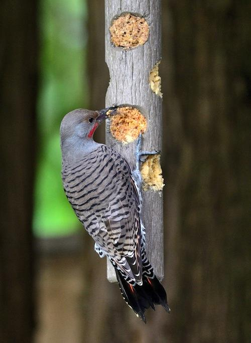 Our newest North Van employee Kathy King captured this Northern Flicker dining on Bark Butter plugs