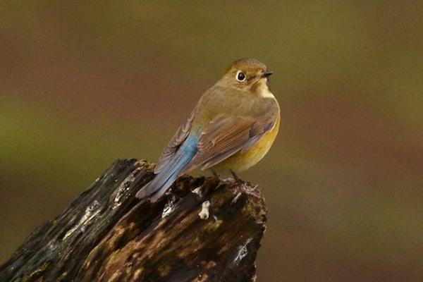A rare Asian bird at Queens Park New Westminster: the Red-Flanked Bluetail